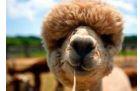 Deze afbeelding heeft een leeg alt-attribuut; de bestandsnaam is alpaca.jpg